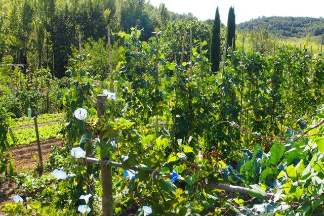 Garden Morning Glory.