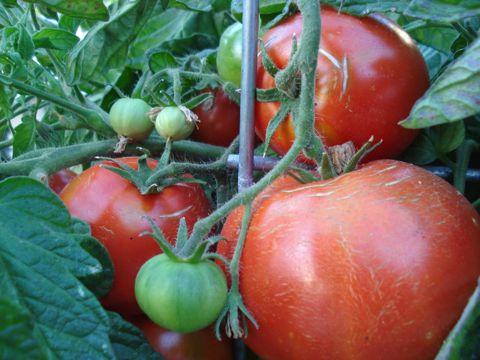 Tomato harvest.