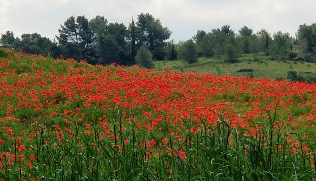 Poppy field near Lagrasse.